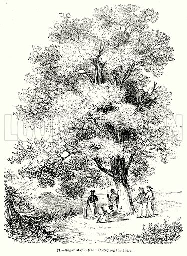 Sugar Maple-Tree: Collecting the Juice. Illustration for Knight's Pictorial Gallery of Arts (London Printing and Publishing, c 1860).