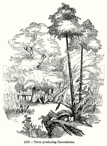 Trees Producing Caoutchouc. Illustration for Knight's Pictorial Gallery of Arts (London Printing and Publishing, c 1860).