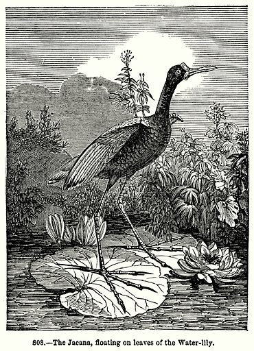 The Jacana, Floating on Leaves of the Water-Lily. Illustration for Knight's Pictorial Gallery of Arts (London Printing and Publishing, c 1860).