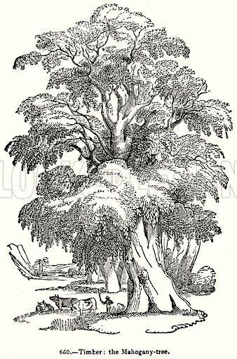 Timber: The Mahogany-Tree. Illustration for Knight's Pictorial Gallery of Arts (London Printing and Publishing, c 1860).