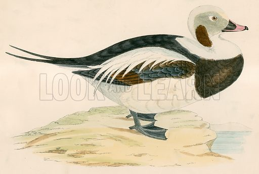 Long tailed Duck. Illustration from British Game Birds and Wildfowl by Beverley R Morris (3rd edn, John C Nimmo, 1891).