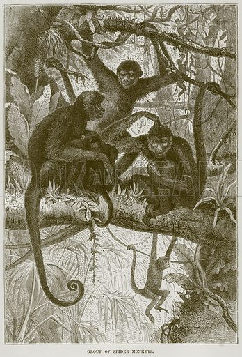 Group of Spider Monkeys. Illustration from Cassell's Natural History (Cassell, 1883).