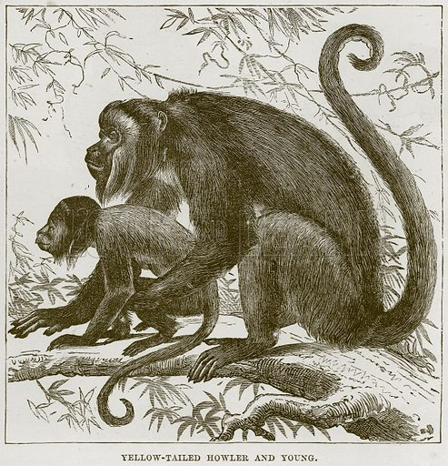 Yellow-Tailed Howler and Young. Illustration from Cassell's Natural History (Cassell, 1883).