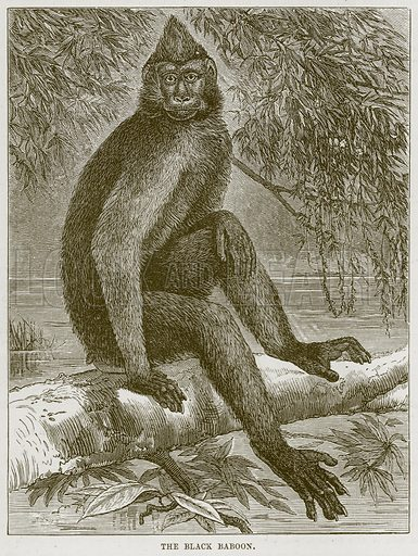 The Black Baboon. Illustration from Cassell's Natural History (Cassell, 1883).
