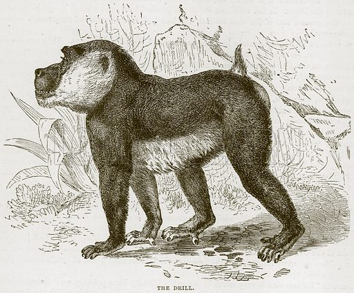 The Drill. Illustration from Cassell's Natural History (Cassell, 1883).
