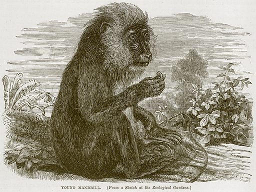Young Mandrill. Illustration from Cassell's Natural History (Cassell, 1883).