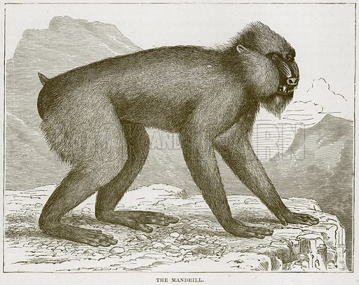 The Mandrill. Illustration from Cassell's Natural History (Cassell, 1883).