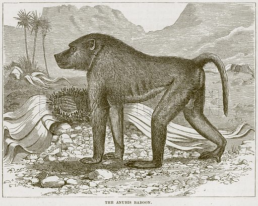 The Anubis Baboon. Illustration from Cassell's Natural History (Cassell, 1883).