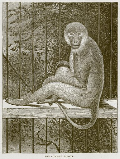 The Common Baboon. Illustration from Cassell's Natural History (Cassell, 1883).