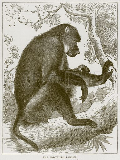 The Pig-Tailed Baboon. Illustration from Cassell's Natural History (Cassell, 1883).
