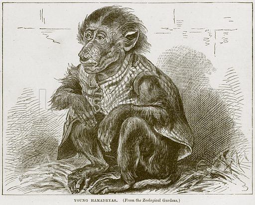 Young Hamadryas. Illustration from Cassell's Natural History (Cassell, 1883).