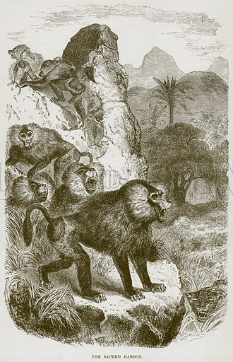 The Sacred Baboon. Illustration from Cassell's Natural History (Cassell, 1883).