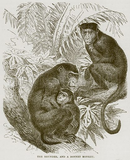 The Bhunder, and a Bonnet Monkey. Illustration from Cassell's Natural History (Cassell, 1883).