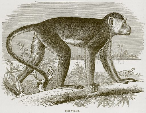 The Toque. Illustration from Cassell's Natural History (Cassell, 1883).