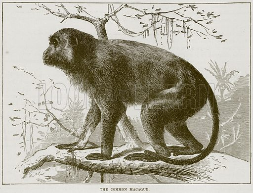 The Common Macaque. Illustration from Cassell's Natural History (Cassell, 1883).