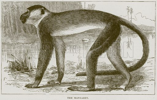 The Mangabey. Illustration from Cassell's Natural History (Cassell, 1883).