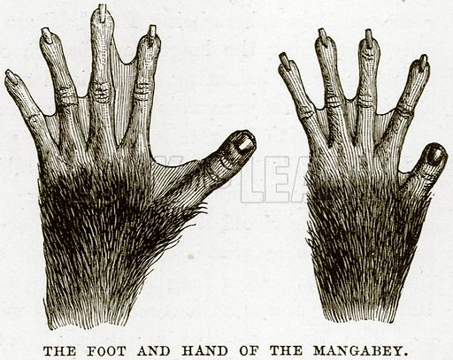 The Foot and Hand of the Mangabey. Illustration from Cassell's Natural History (Cassell, 1883).