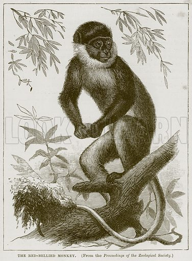The Red-Bellied Monkey. Illustration from Cassell's Natural History (Cassell, 1883).