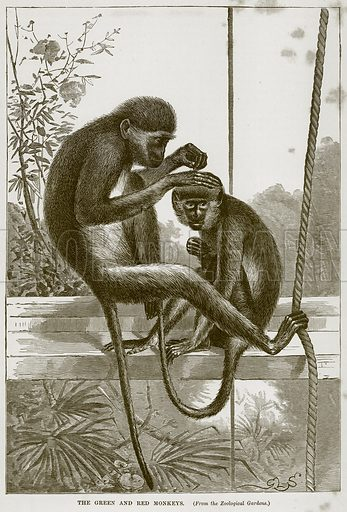 The Green and Red Monkeys. Illustration from Cassell's Natural History (Cassell, 1883).