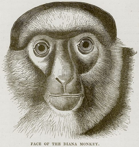 Face of the Diana Monkey. Illustration from Cassell's Natural History (Cassell, 1883).