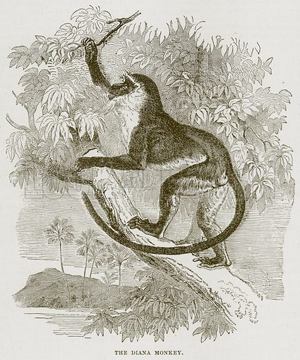 The Diana Monkey. Illustration from Cassell's Natural History (Cassell, 1883).