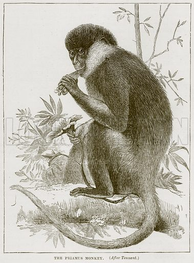 The Priamus Monkey. Illustration from Cassell's Natural History (Cassell, 1883).