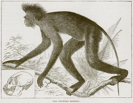 The Crowned Monkey. Illustration from Cassell's Natural History (Cassell, 1883).