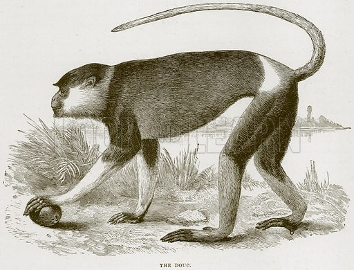 The Douc. Illustration from Cassell's Natural History (Cassell, 1883).