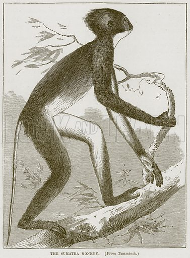 The Sumatra Monkey. Illustration from Cassell's Natural History (Cassell, 1883).