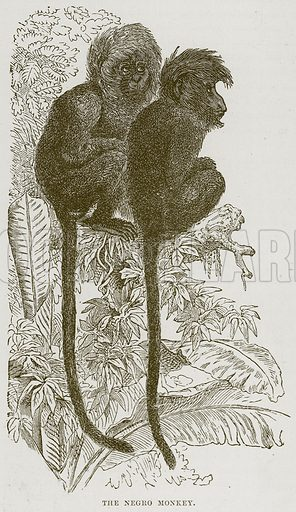The Negro Monkey. Illustration from Cassell's Natural History (Cassell, 1883).