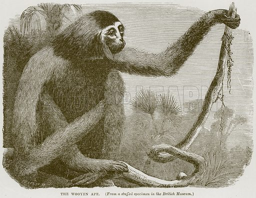 The Wooyen Ape. Illustration from Cassell's Natural History (Cassell, 1883).
