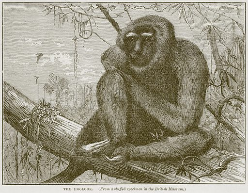 The Hoolook. Illustration from Cassell's Natural History (Cassell, 1883).