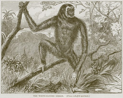 The White-Handed Gibbon. Illustration from Cassell's Natural History (Cassell, 1883).