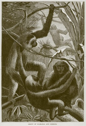 Group of Siamangs and Gibbons. Illustration from Cassell's Natural History (Cassell, 1883).