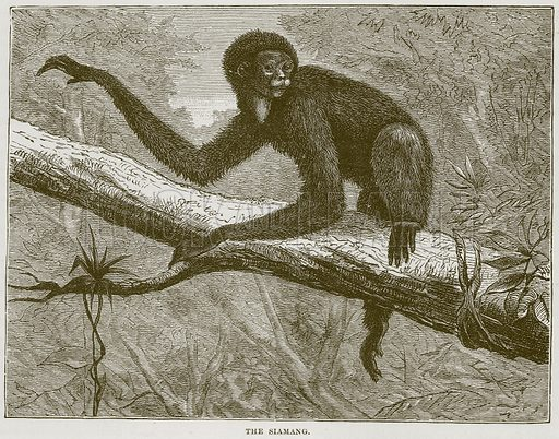 The Siamang. Illustration from Cassell's Natural History (Cassell, 1883).
