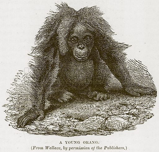 A Young Orang. Illustration from Cassell's Natural History (Cassell, 1883).
