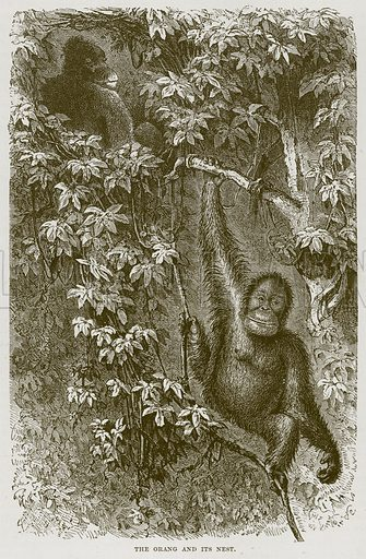 The Orang and its Nest. Illustration from Cassell's Natural History (Cassell, 1883).