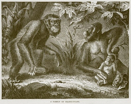 A Family of Orang-Utans. Illustration from Cassell's Natural History (Cassell, 1883).