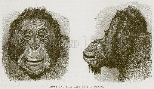 Front and Side Face of the Oragn. Illustration from Cassell's Natural History (Cassell, 1883).