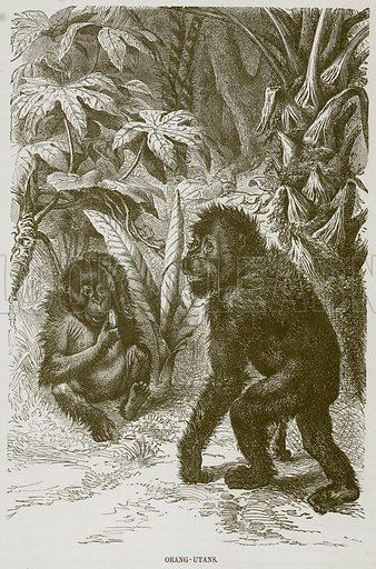 Orang-Utans. Illustration from Cassell's Natural History (Cassell, 1883).