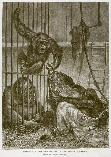 Orang-Utan and Chimpanzees in the Berlin Aquarium. Illustration from Cassell's Natural History (Cassell, 1883).