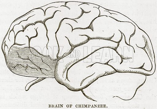 Brain of Chimpanzee. Illustration from Cassell's Natural History (Cassell, 1883).