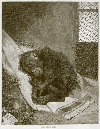Sick Orang-Utan. Illustration from Cassell's Natural History (Cassell, 1883).