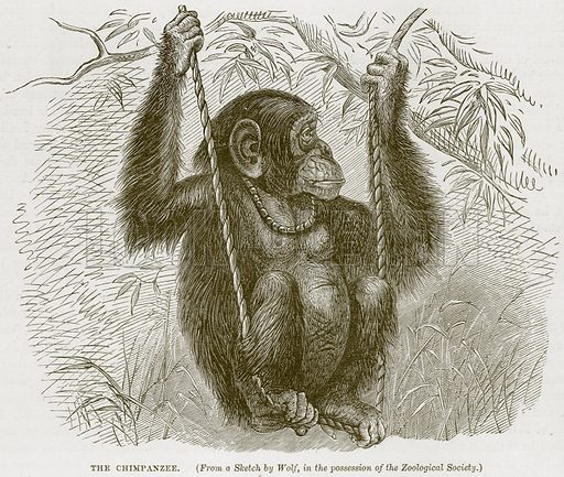The Chimpanzee. Illustration from Cassell's Natural History (Cassell, 1883).