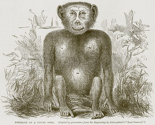 Portrait of a Young Soko. Illustration from Cassell's Natural History (Cassell, 1883).