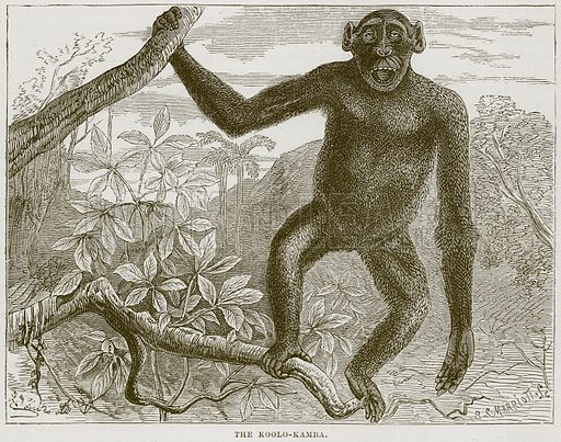 The Koolo-Kamba. Illustration from Cassell's Natural History (Cassell, 1883).
