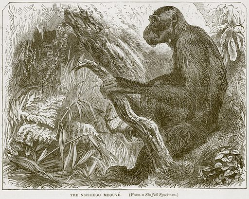 The Nschiego Mbouve. Illustration from Cassell's Natural History (Cassell, 1883).