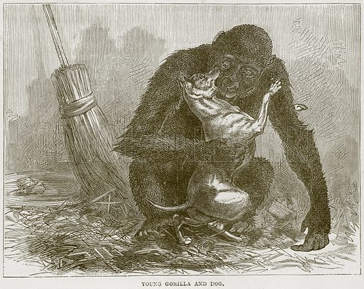Young Gorilla and Dog. Illustration from Cassell's Natural History (Cassell, 1883).