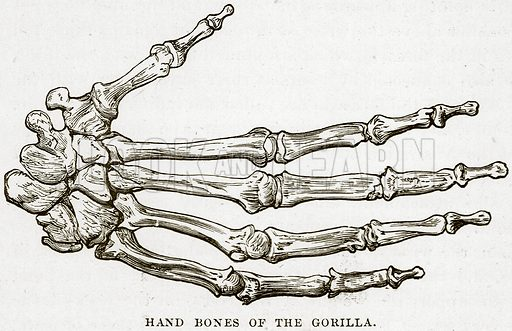 Hand Bones of the Gorilla. Illustration from Cassell's Natural History (Cassell, 1883).