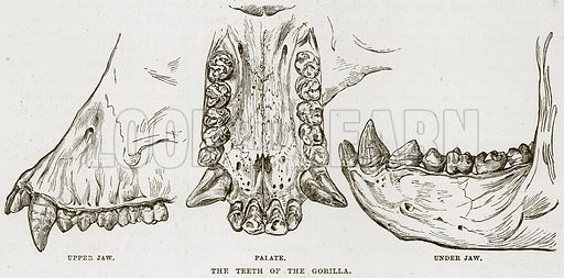 The Teeth of the Gorilla. Upper Jaw. Palate. Under Jaw. Illustration from Cassell's Natural History (Cassell, 1883).